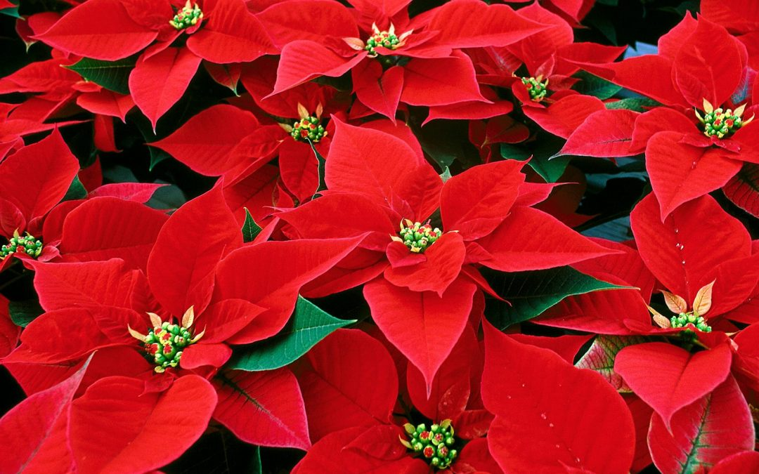 Thalia UMC Christmas Poinsettias
